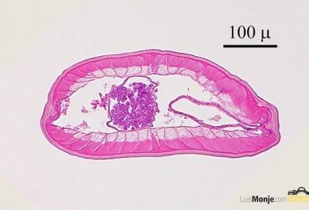 Dirofilaria sp.