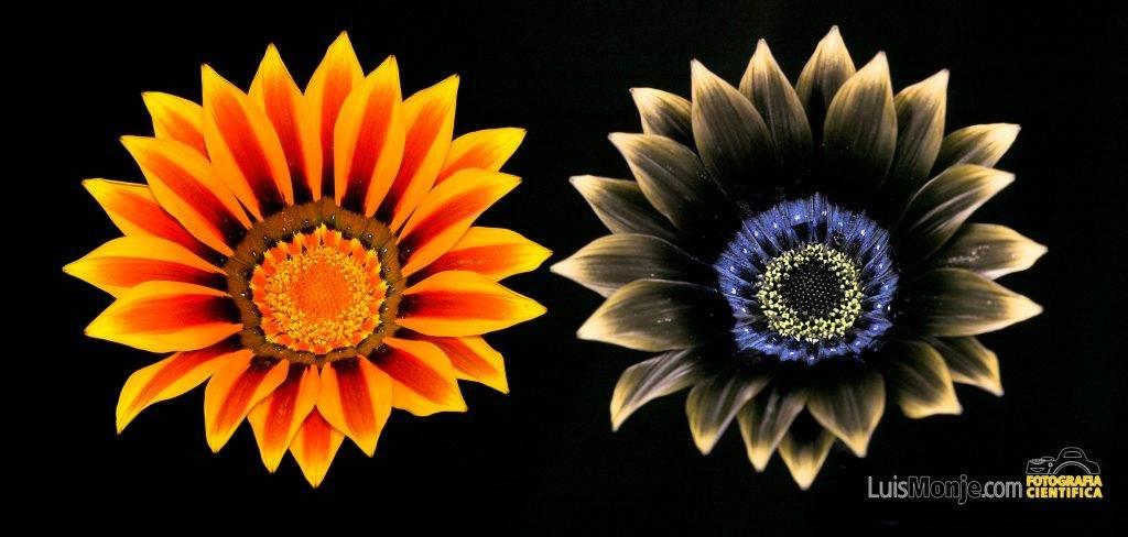 gazania-x-splendens-en-visible-y-ultravioleta