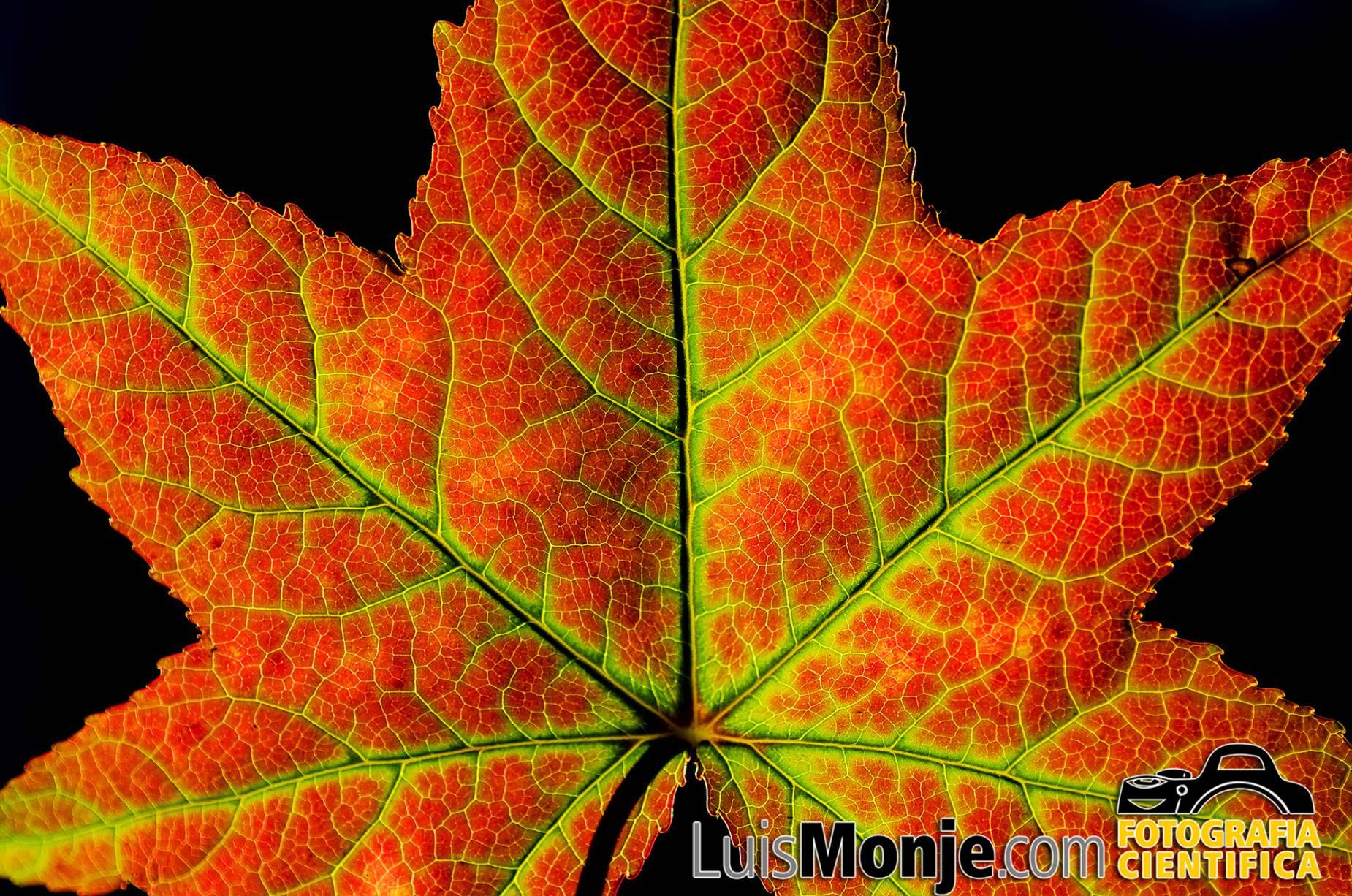 Luis Monje Fotografia Cientificapor Que Las Hojas De Los Arboles - Hojas-de-arboles