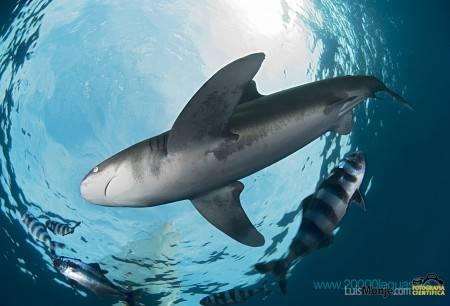 __tiburon