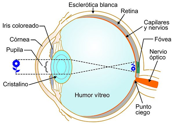 Esquema del ojo humano