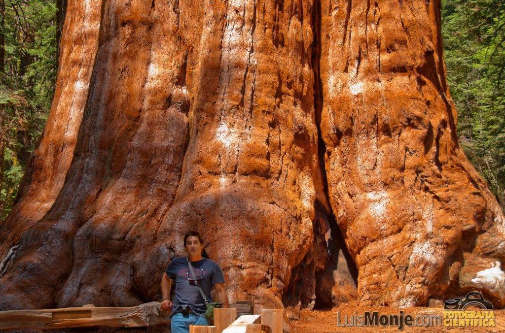 Ante el General Sherman. El árbol más grande del mundo