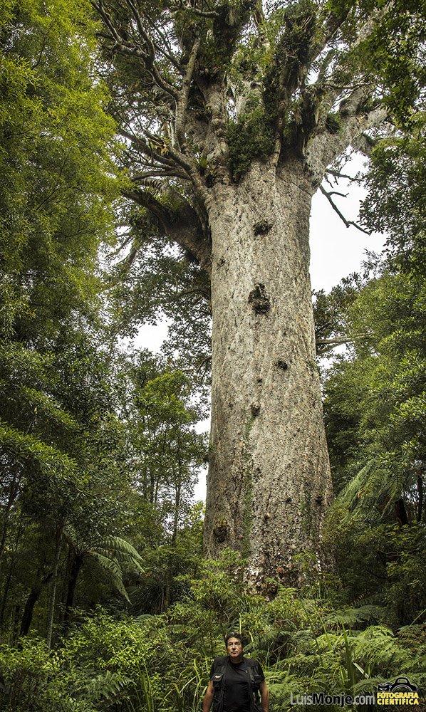 El Kauri (Agathis australis) mas grande del mundo