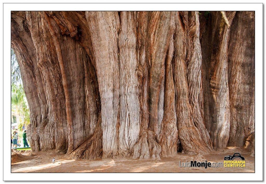 Detalle del tronco del árbol mas ancho del mundo
