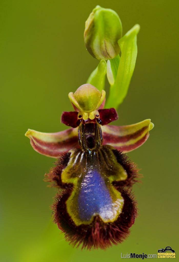 La orquídea abeja (Ophrys speculum),