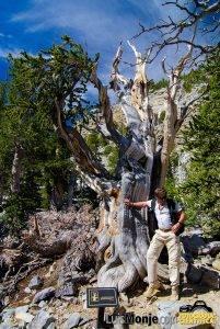 El árbol mas viejo del mundo